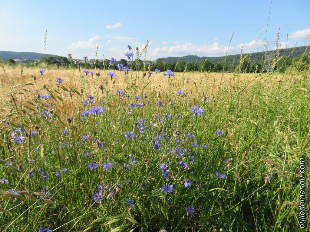 Les bleuets au milieu des champs de céréales