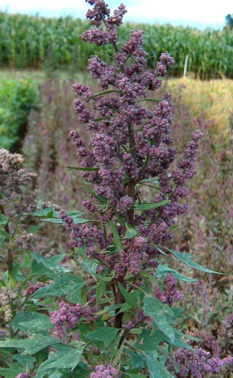 Un plant de quinoa (photo wikipedia)
