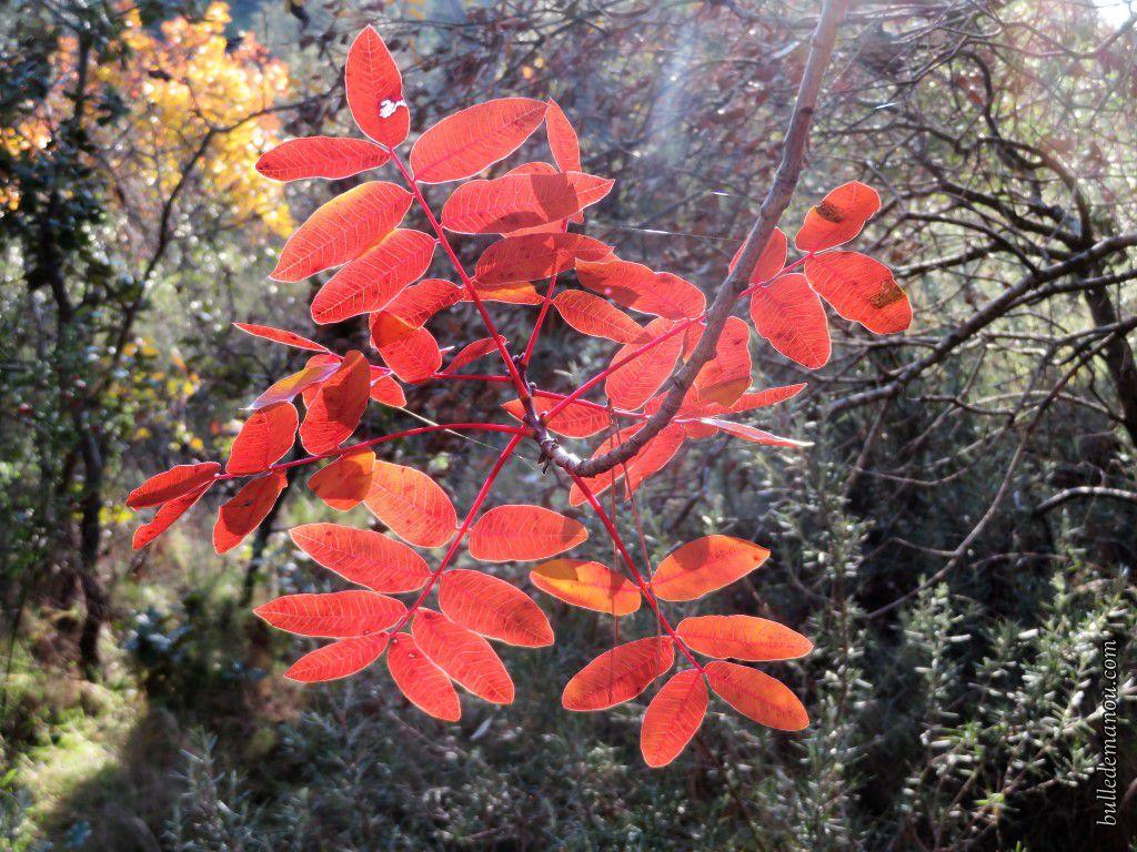 Pistachier térébinthe à l'automne et en hiver