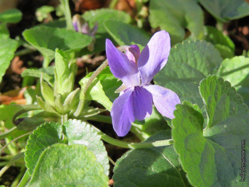Violettes et giroflées