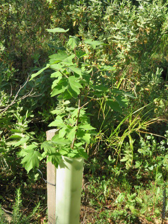 Quelques jeunes arbres plantés lors du reboisement
