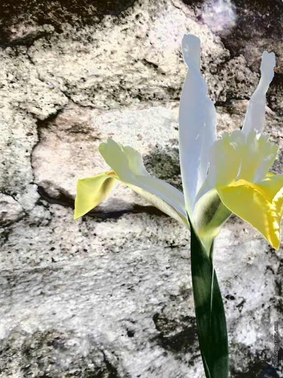 Des iris