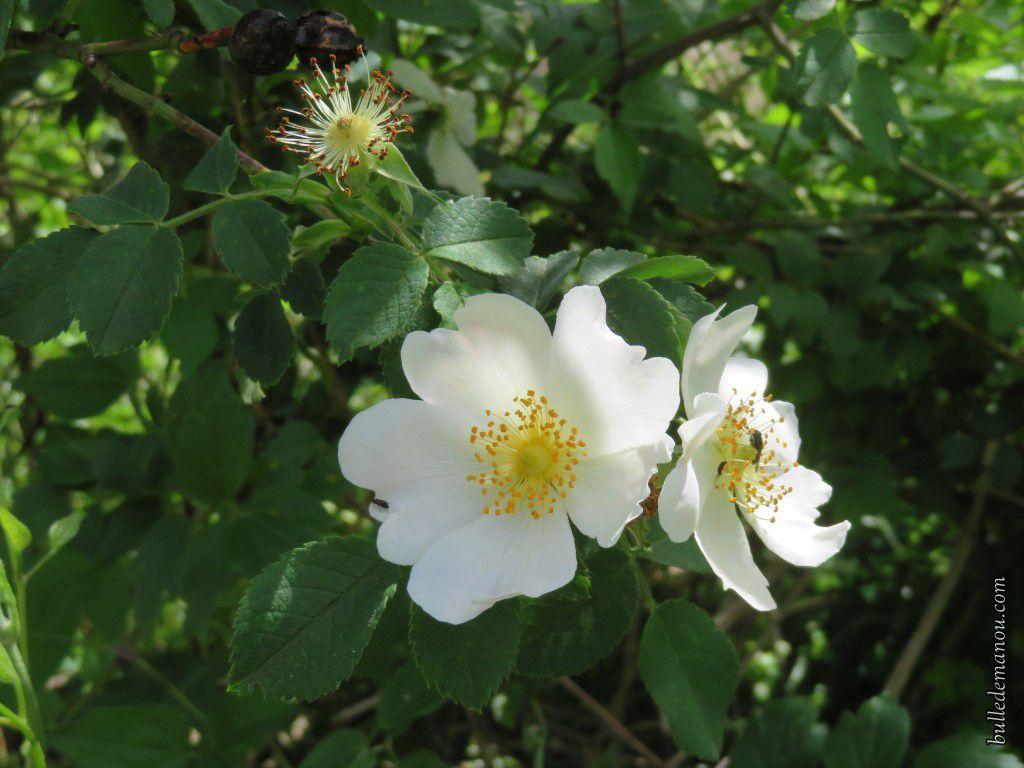 Fleurs d'églantier