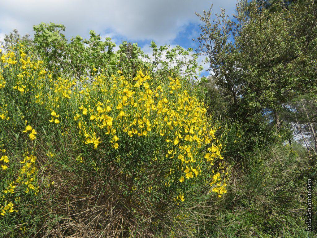 Le genêt d'Espagne (Spartium junceum)