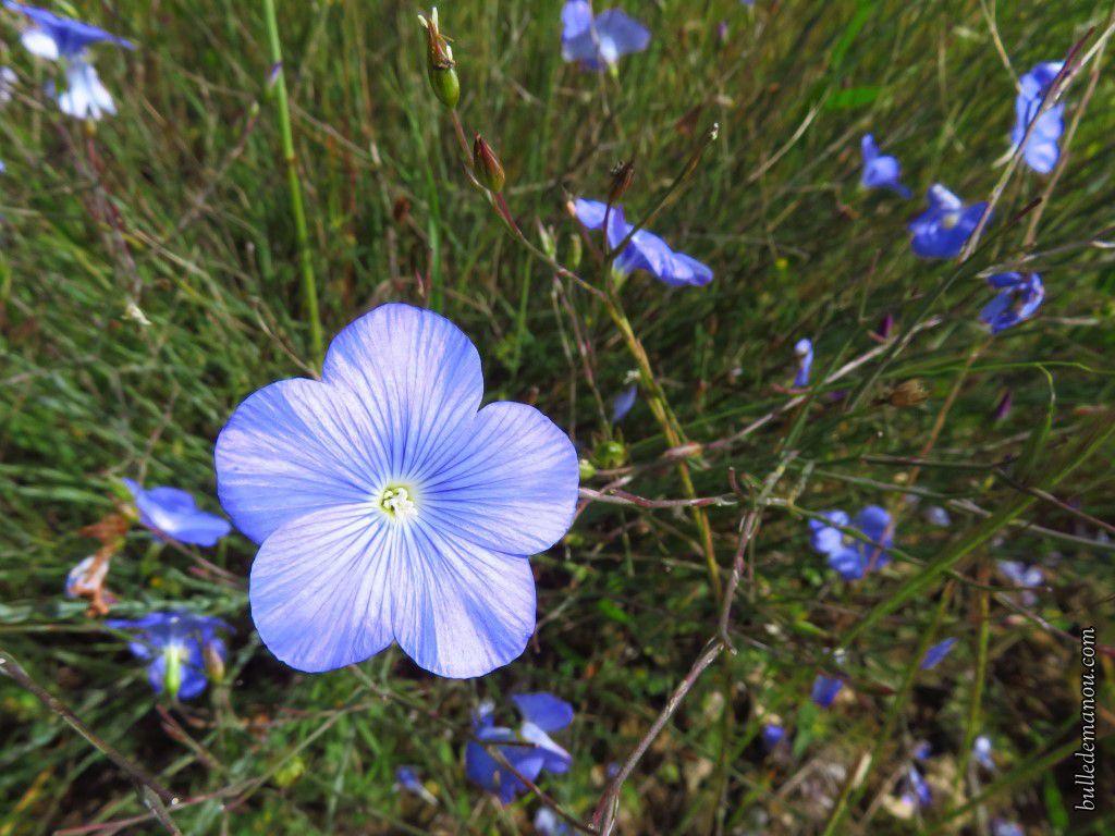 Le Lin bleu de Narbonne