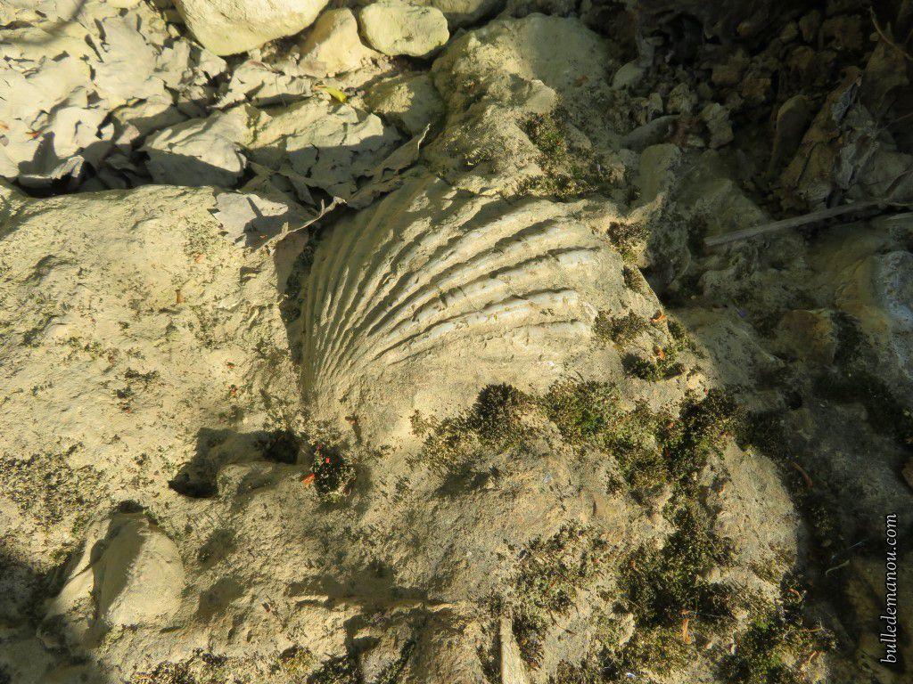 Des pectens datant du Miocène