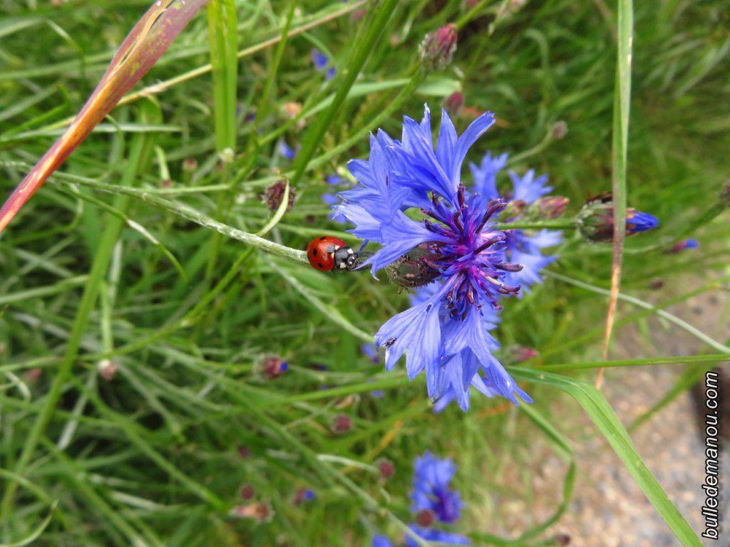 Bleuets ( Centaurea cyanus) au bord des champs cultivés