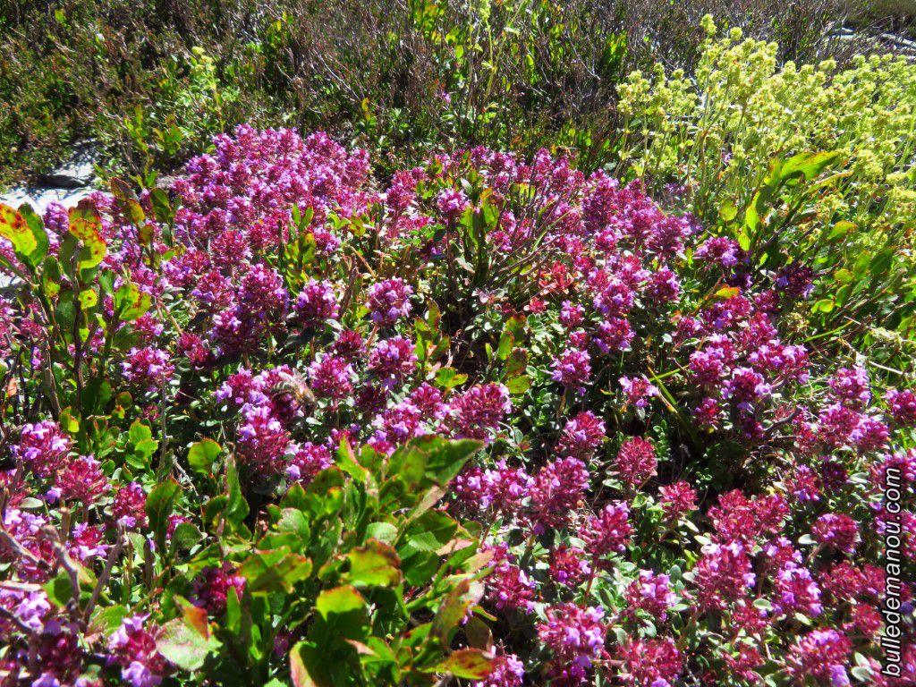 Le serpolet (Thymus serpillum)