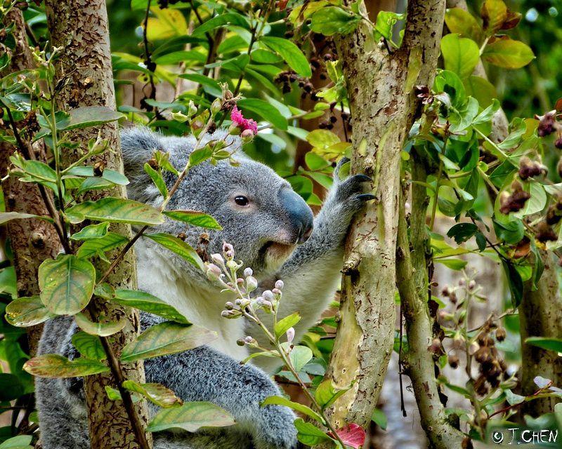 (Koala - un clic s/image pour agrandir)