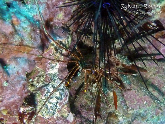 Macropode et oursin - Cap-Vert