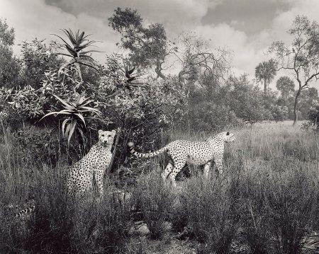 série dioramas : Cheetah