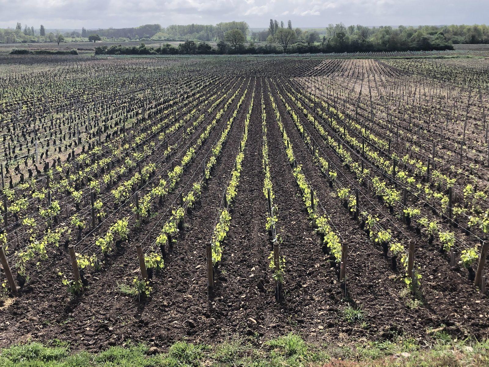 Effets du Gel du 5 Avril sur les vignes du domaine Buisson-Charles