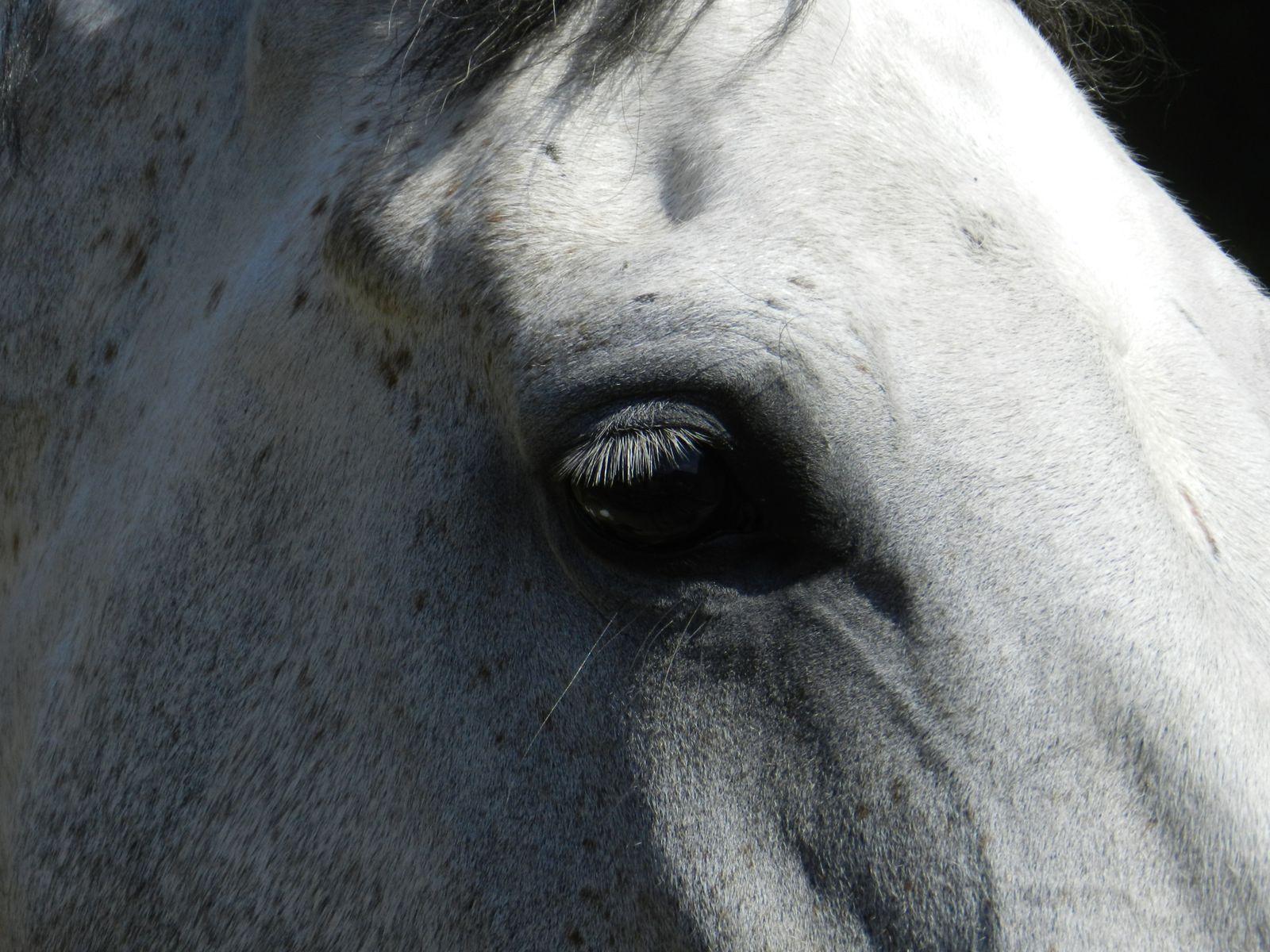 Un oeil de cheval. Image soumise à droits d'auteur. Techniques d'élevage 2013