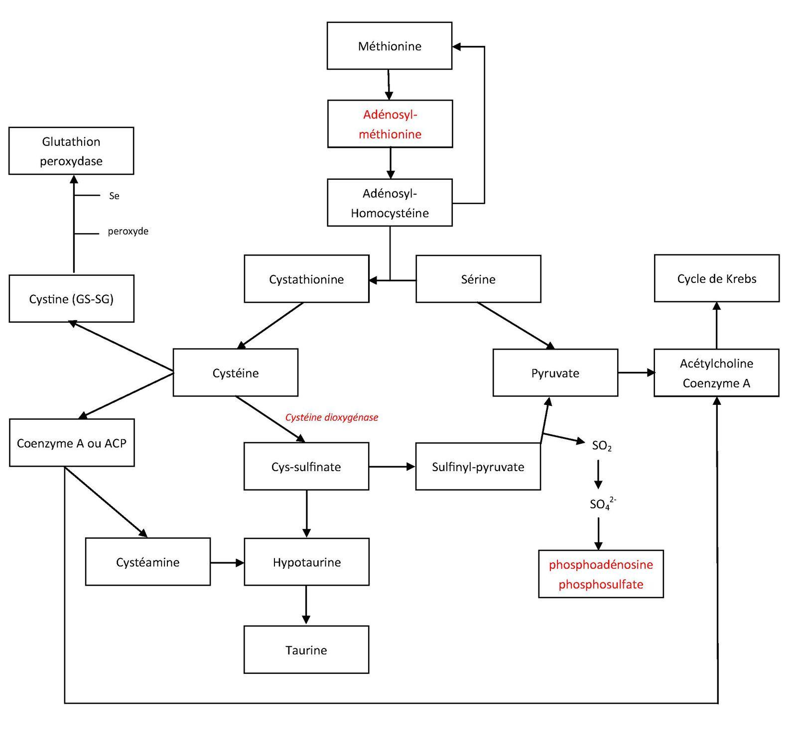 Métabolisme des acides aminés soufrés. François Kaeffer. Image soumise à droits d'auteur