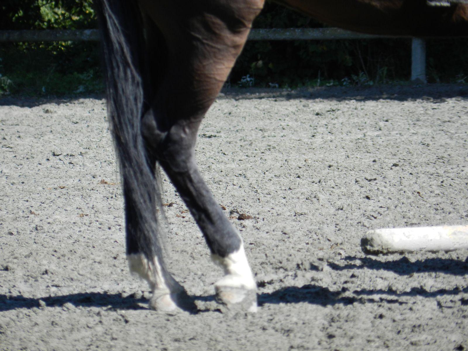Postérieurs d'un cheval. Tous droits réservés. Techniques d'élevage