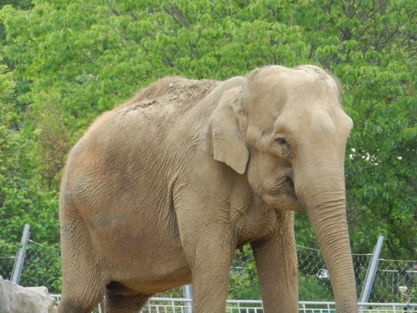 Éléphant. Techniques d'élevage. Tous droits réservés