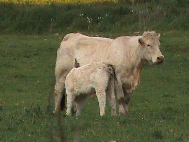 Vache et son veau. Techniques d'élevage. Tous droits réservés