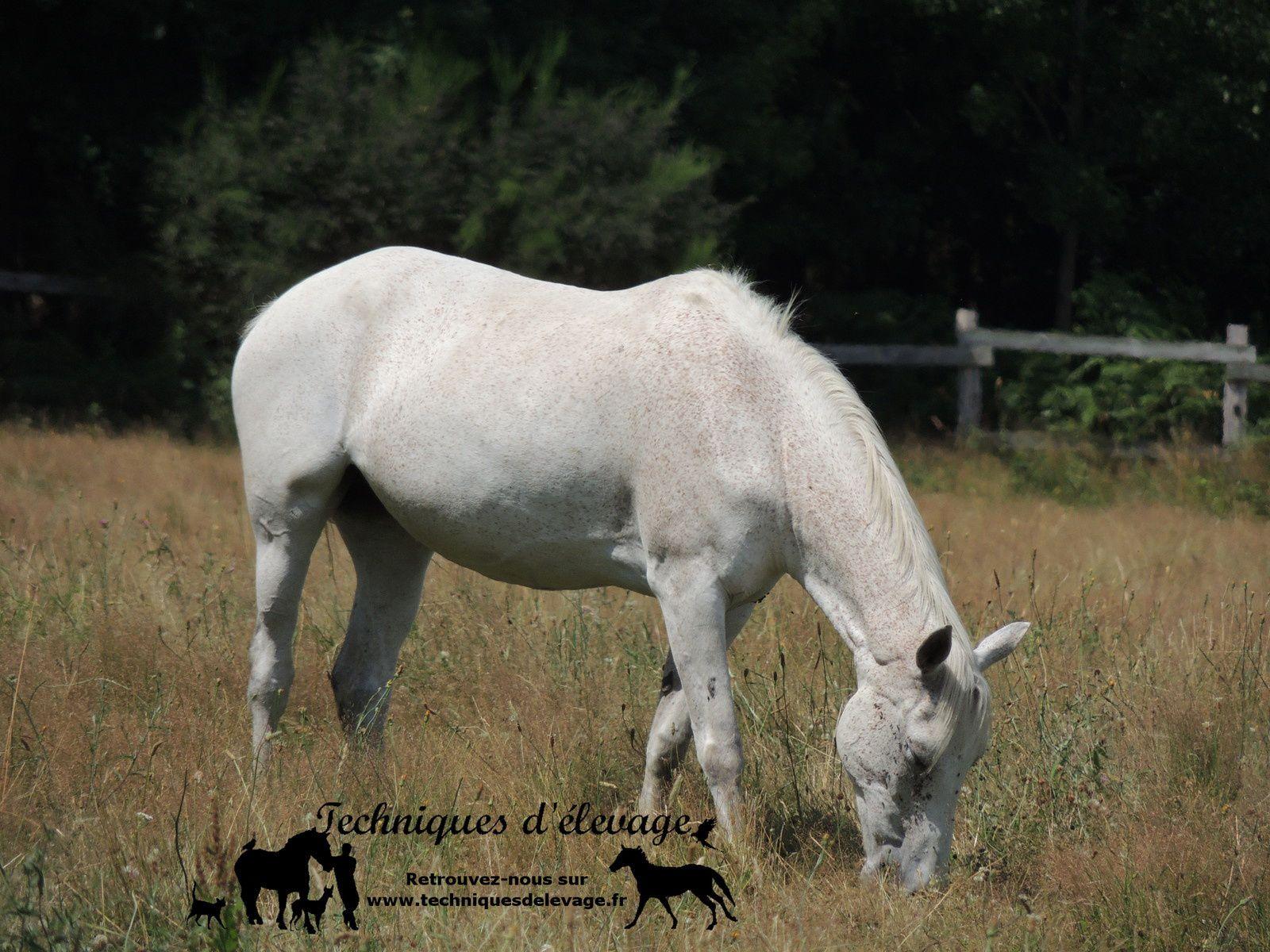 Cheval au pré. Techniques d'élevage. Tous droits réservés