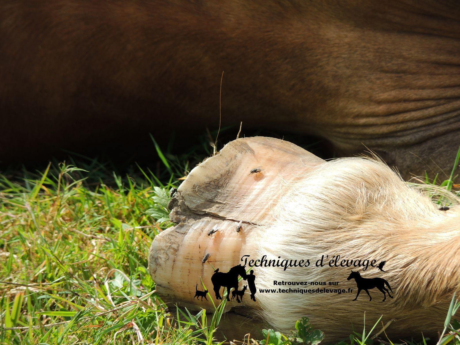 Pied abîmé sur une poulinière de trait. Techniques d'élevage. Tous droits réservés
