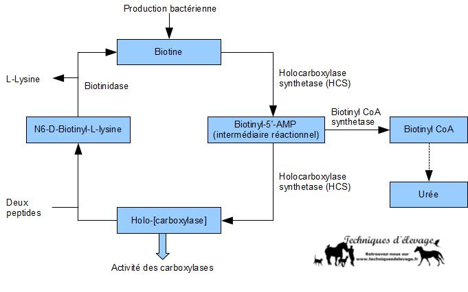 Métabolisme de la biotine. Techniques d'élevage Nantes François Kaeffer. Image soumise à droits d'auteur