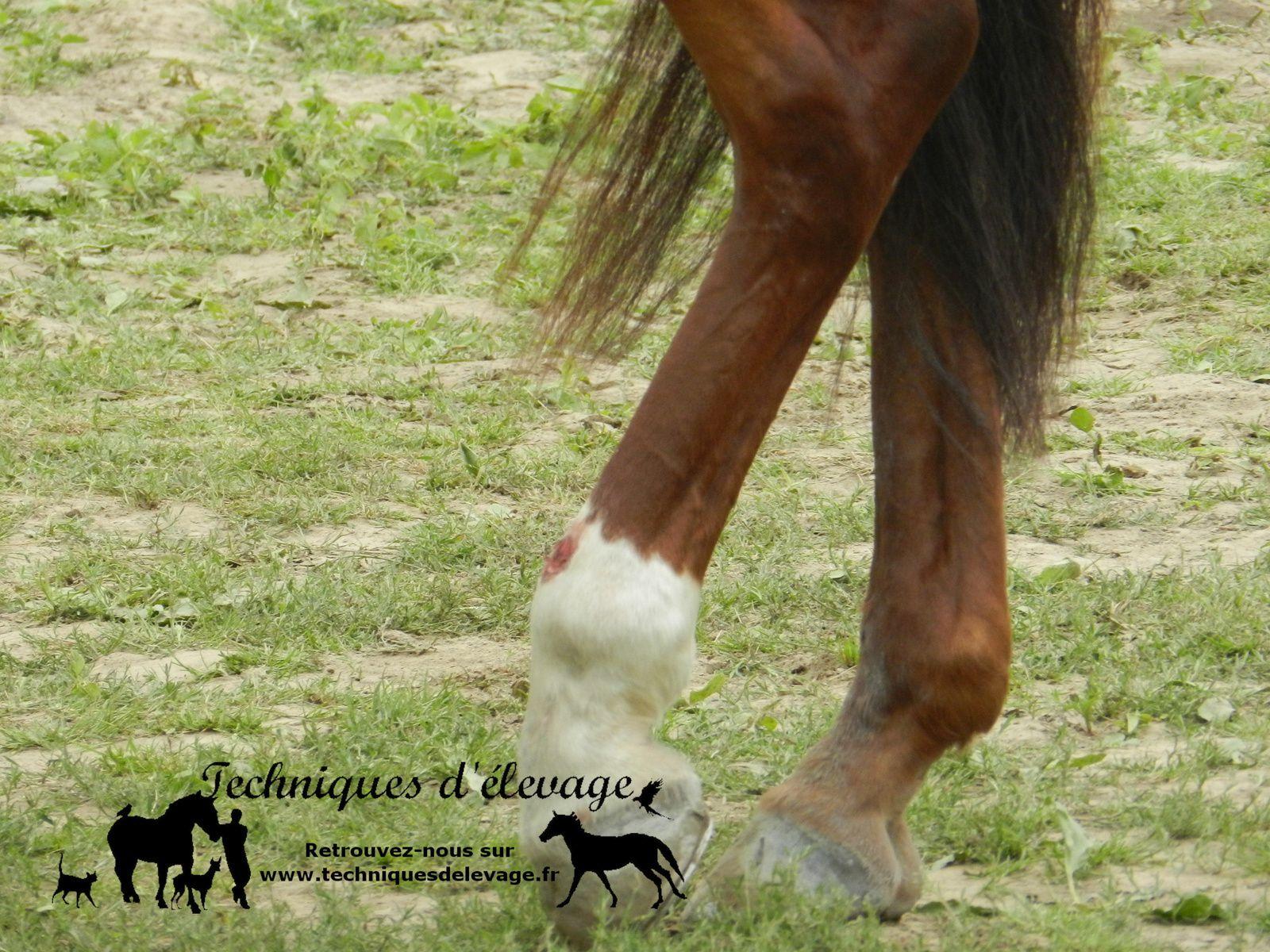 Membres postérieurs d'un cheval. Techniques d'élevage. Tous droits réservés