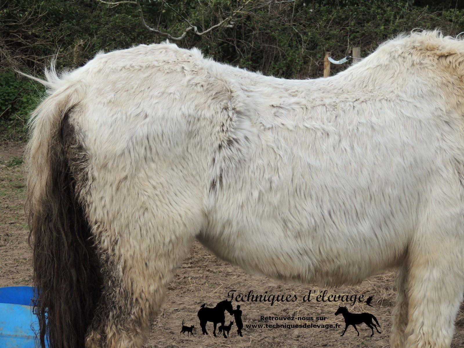 Poils hirsutes d'un poney atteint de cushing. Techniques d'élevage. Tous droits réservés