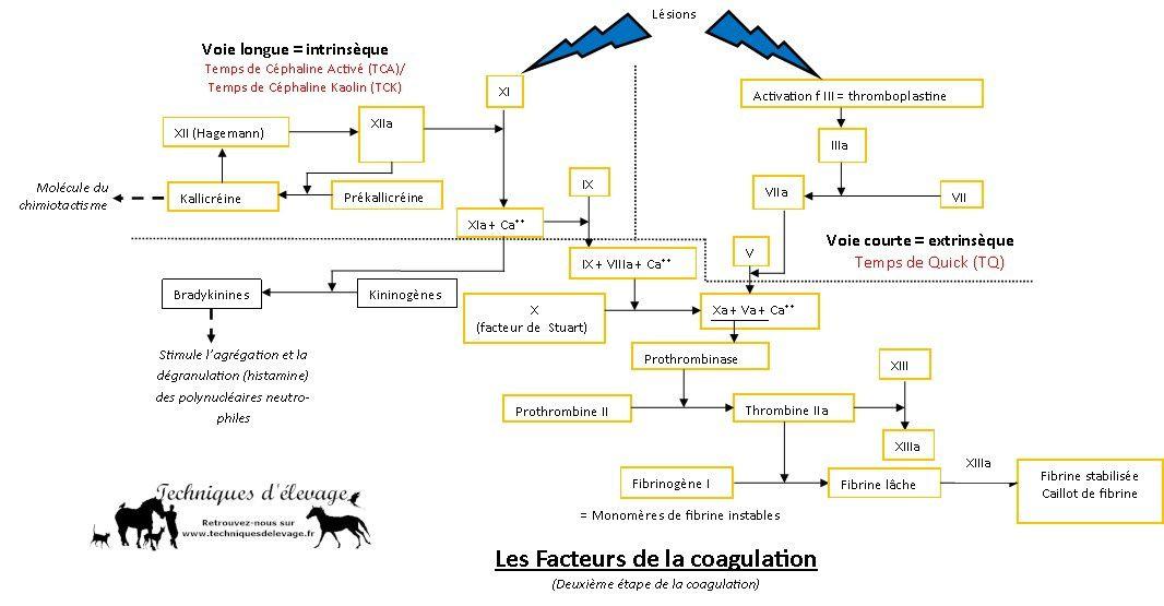Facteurs de coagulation. Techniques d'élevage. Tous droits réservés