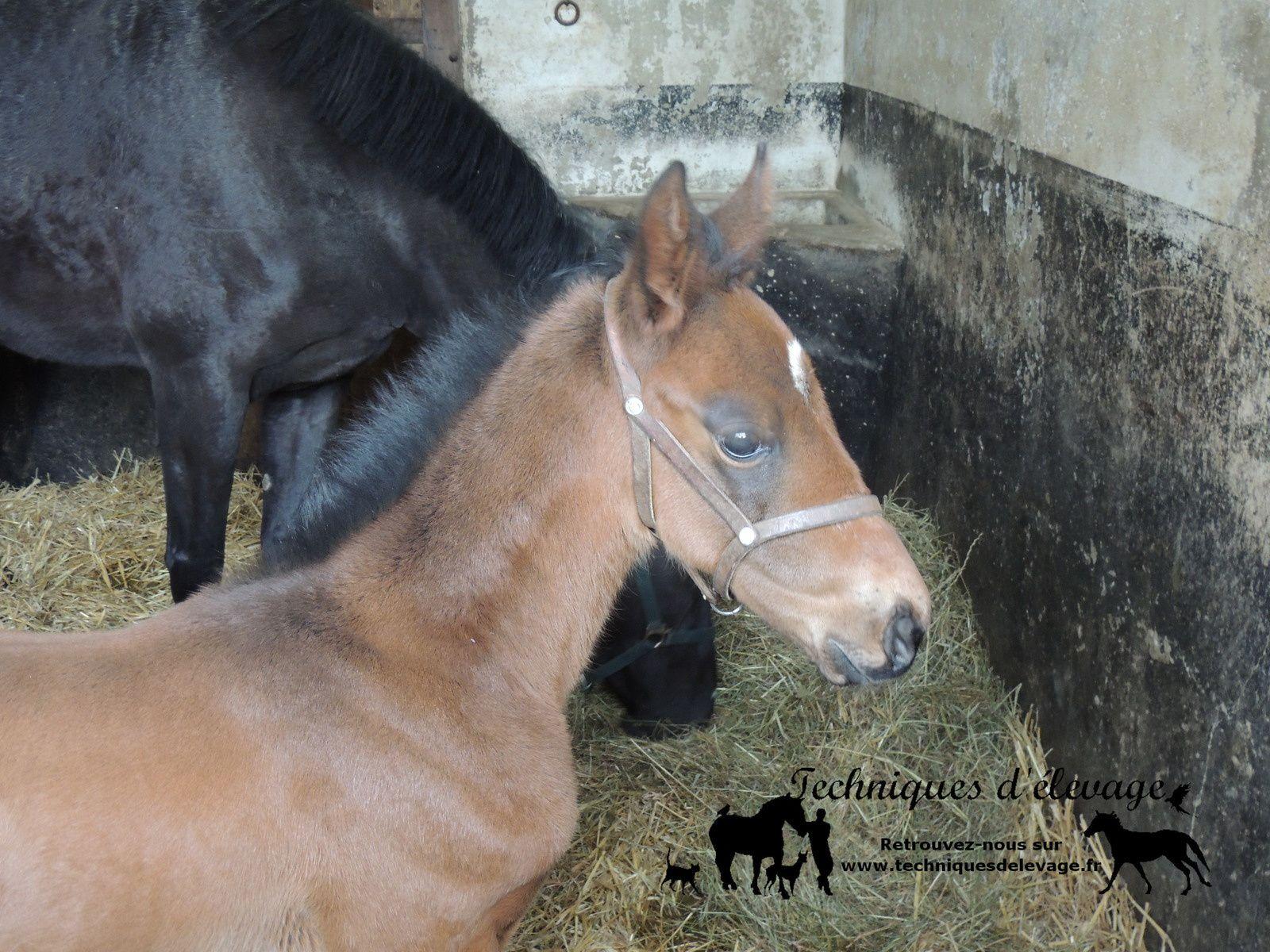 Jeune poulain et sa mère. Techniques d'élevage. Tous droits réservés