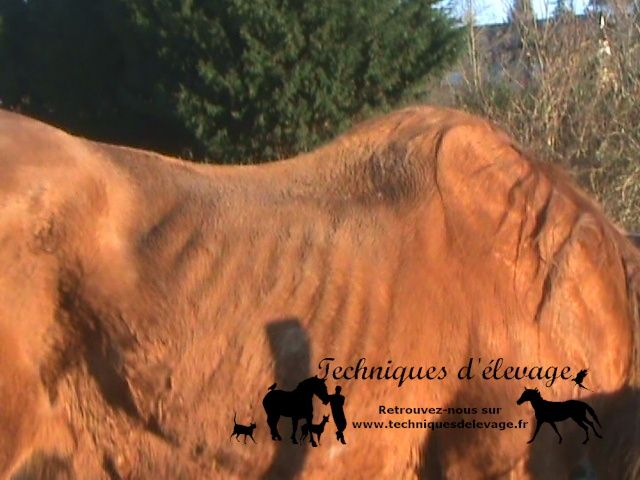 Amaigrissement sur cheval âgé. Techniques d'élevage. Tous droits réservés