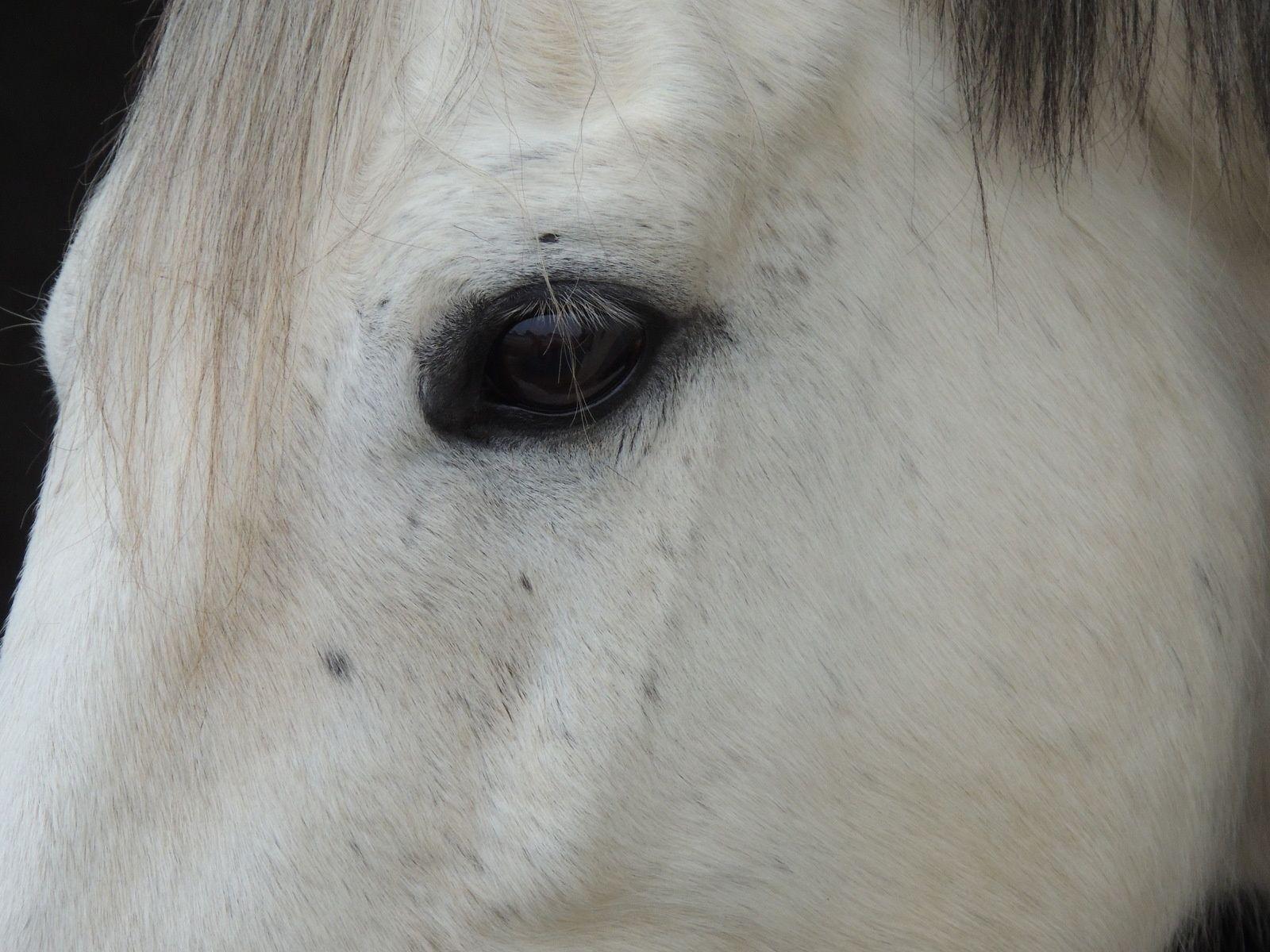 oeil d'un cheval. Techniques d'élevage. Nantes. Image soumise à droits d'auteur