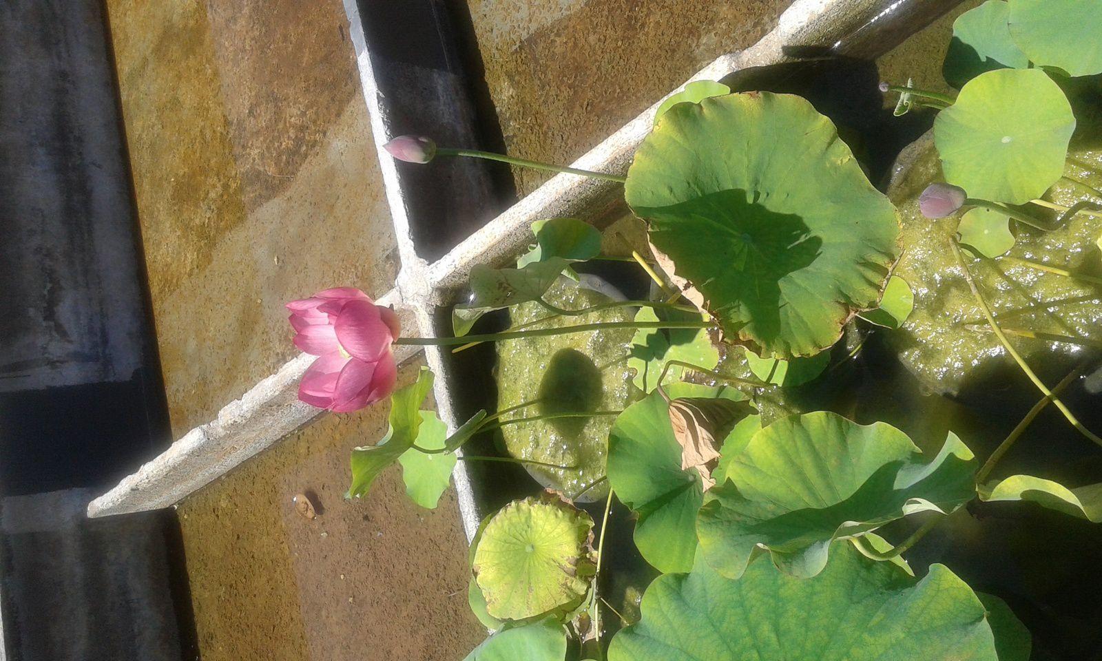 nénphar ou lotus...?
