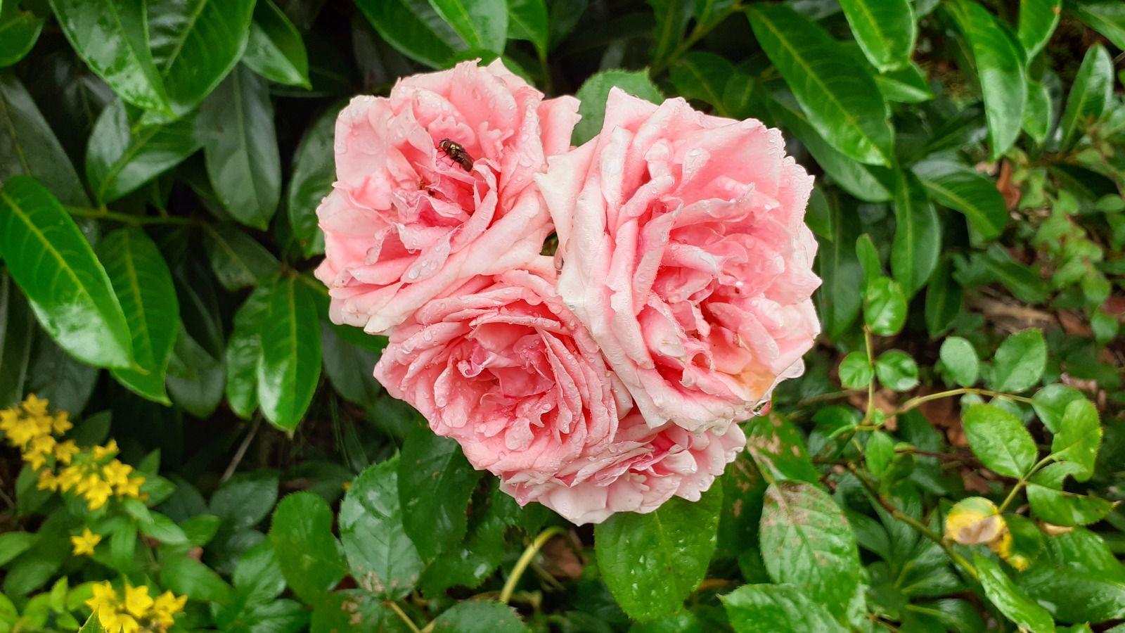 Le rosier kimono et le lysimach font leur effet couleur .
