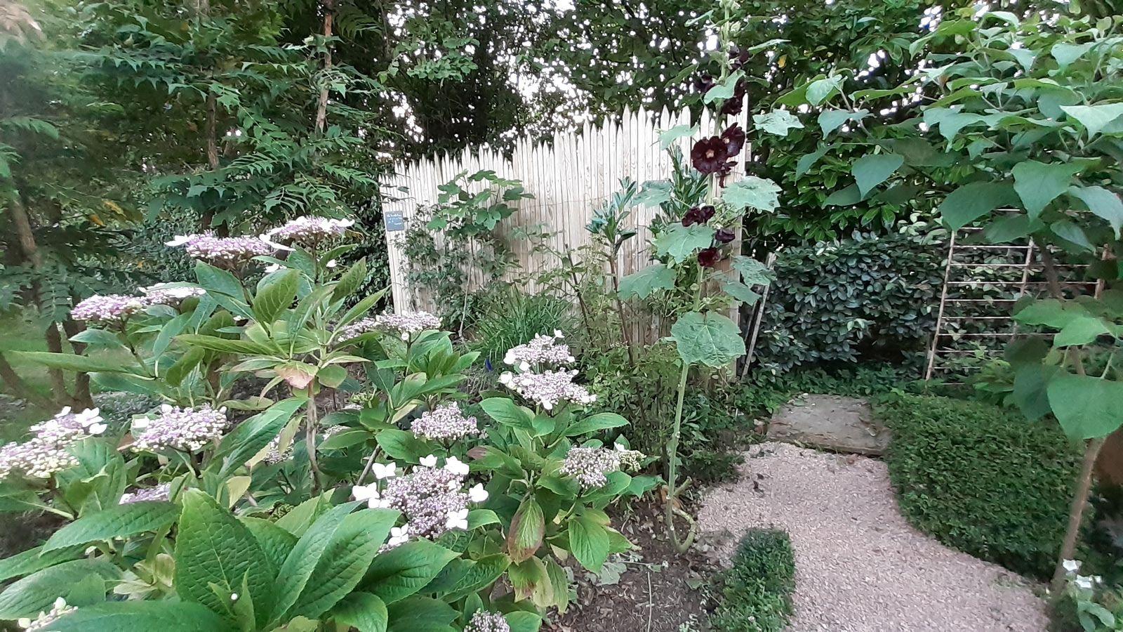 les hydrangéas dans le jardin de la véranda
