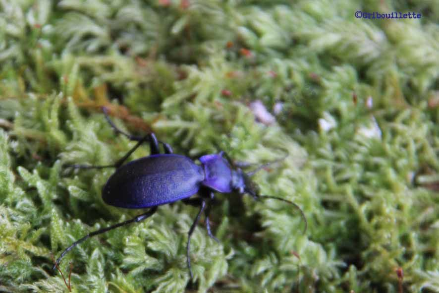 P52#17_Insecte_Carabe violet
