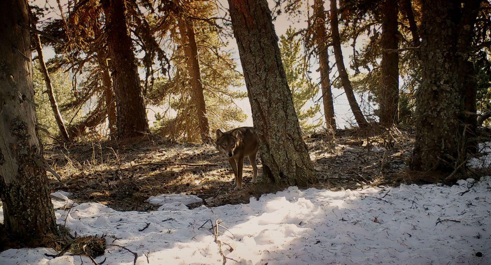 Marche avec les loups (BANDE-ANNONCE) Documentaire de Jean-Michel Bertrand - Le 15 janvier 2020 au cinéma