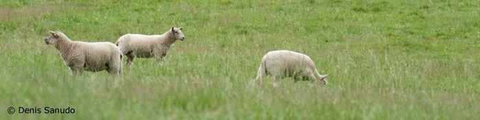 Commande d'agneau à Denis Sanudo - Date limite 27/11