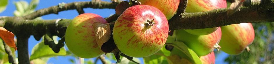 Golden... Jonagold... Canada... Mcintosh... Calville... Boskoop... Reinette... Cox... Granny... Elstar... Gala... Pommes, pommes, Pommes, pommes...