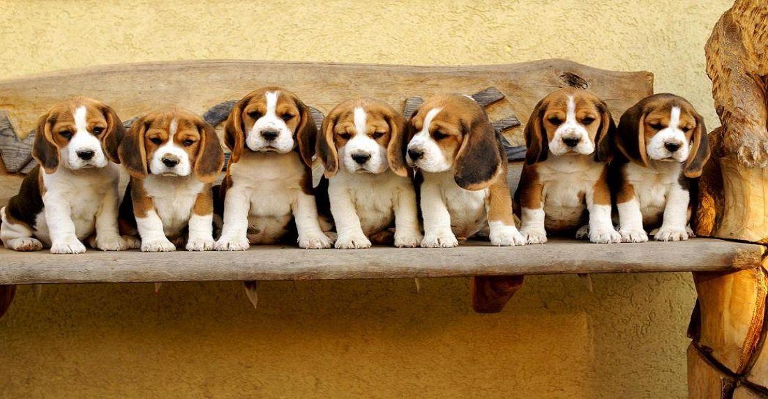 Chiots beagles