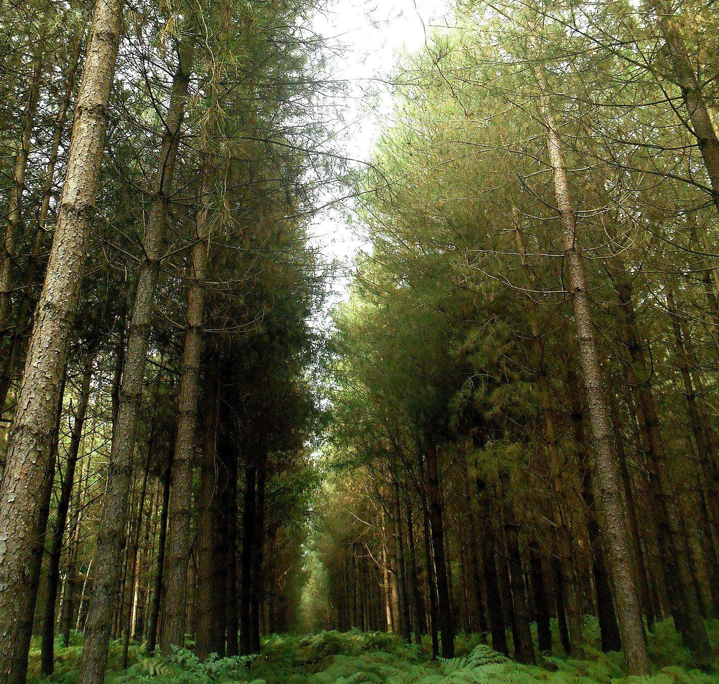 la forêt de conifères