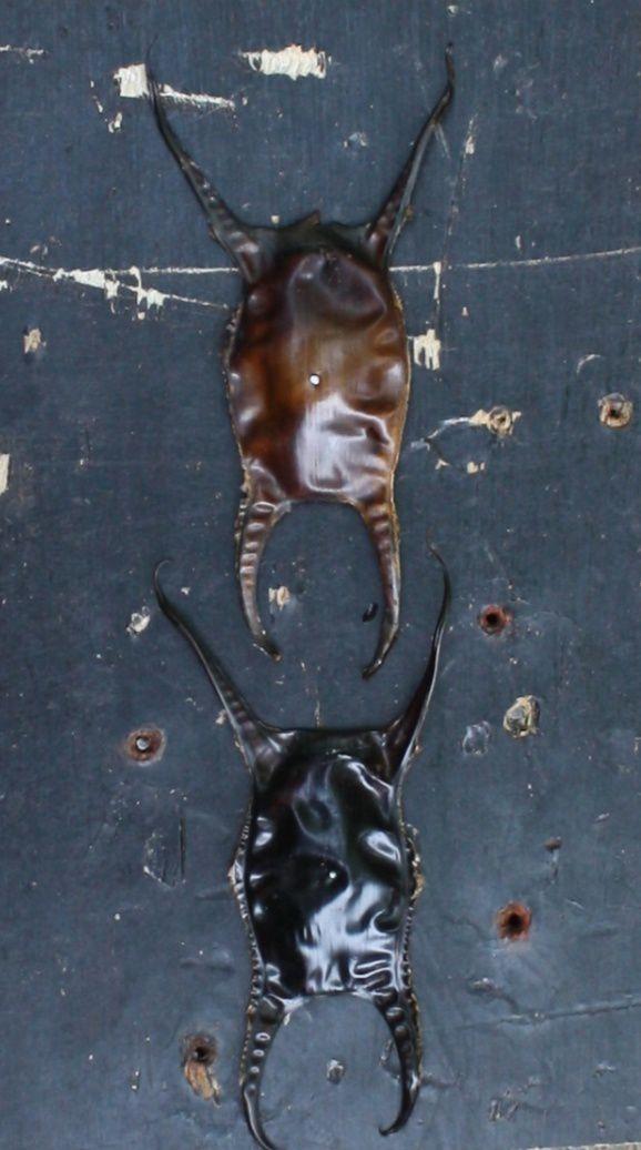 Capsules d'oeufs de raie - Black raie