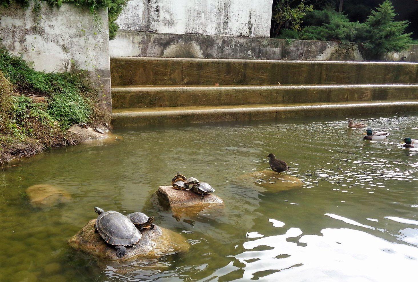 Lisbonne - Le musée Calouste Gulbenkian (7) - Jardin, canards et tortues...