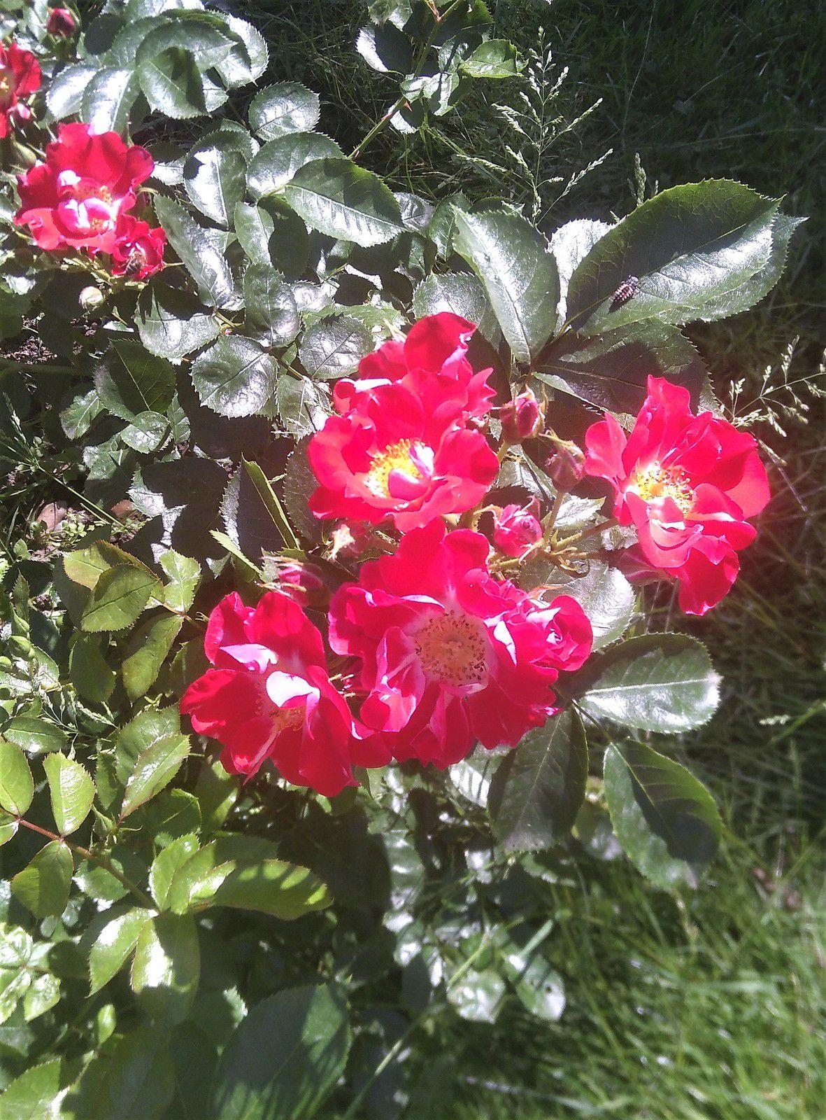 Les roses du déconfinement