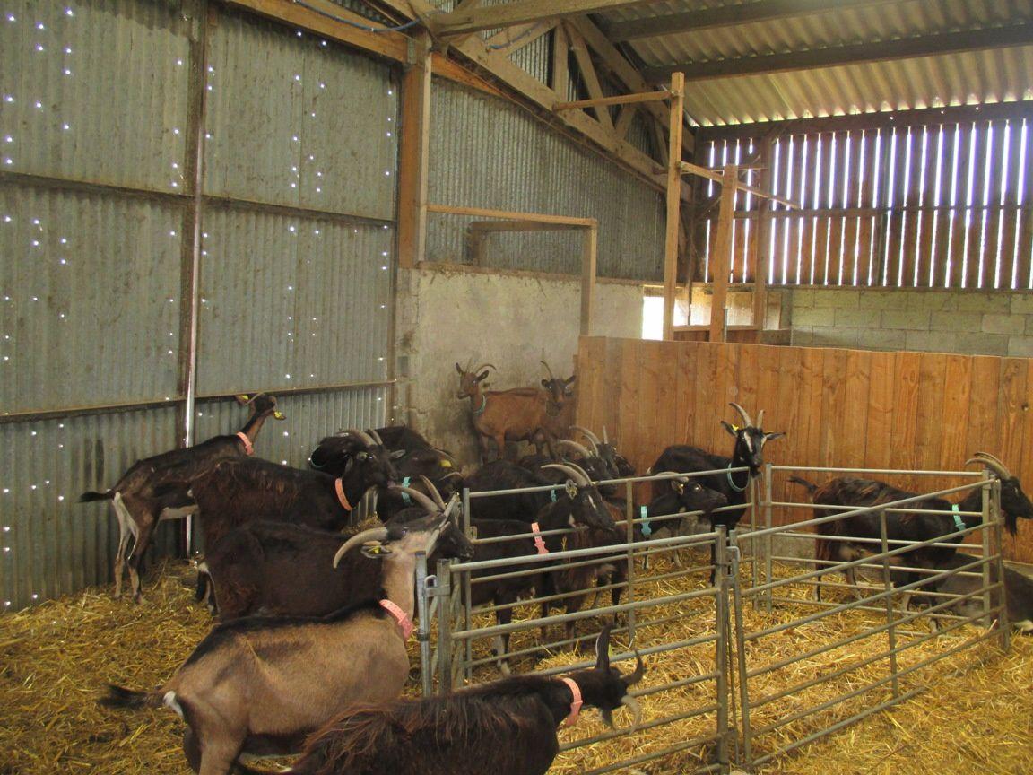 Les chèvres qui hésitent à aller à l'herbe ...
