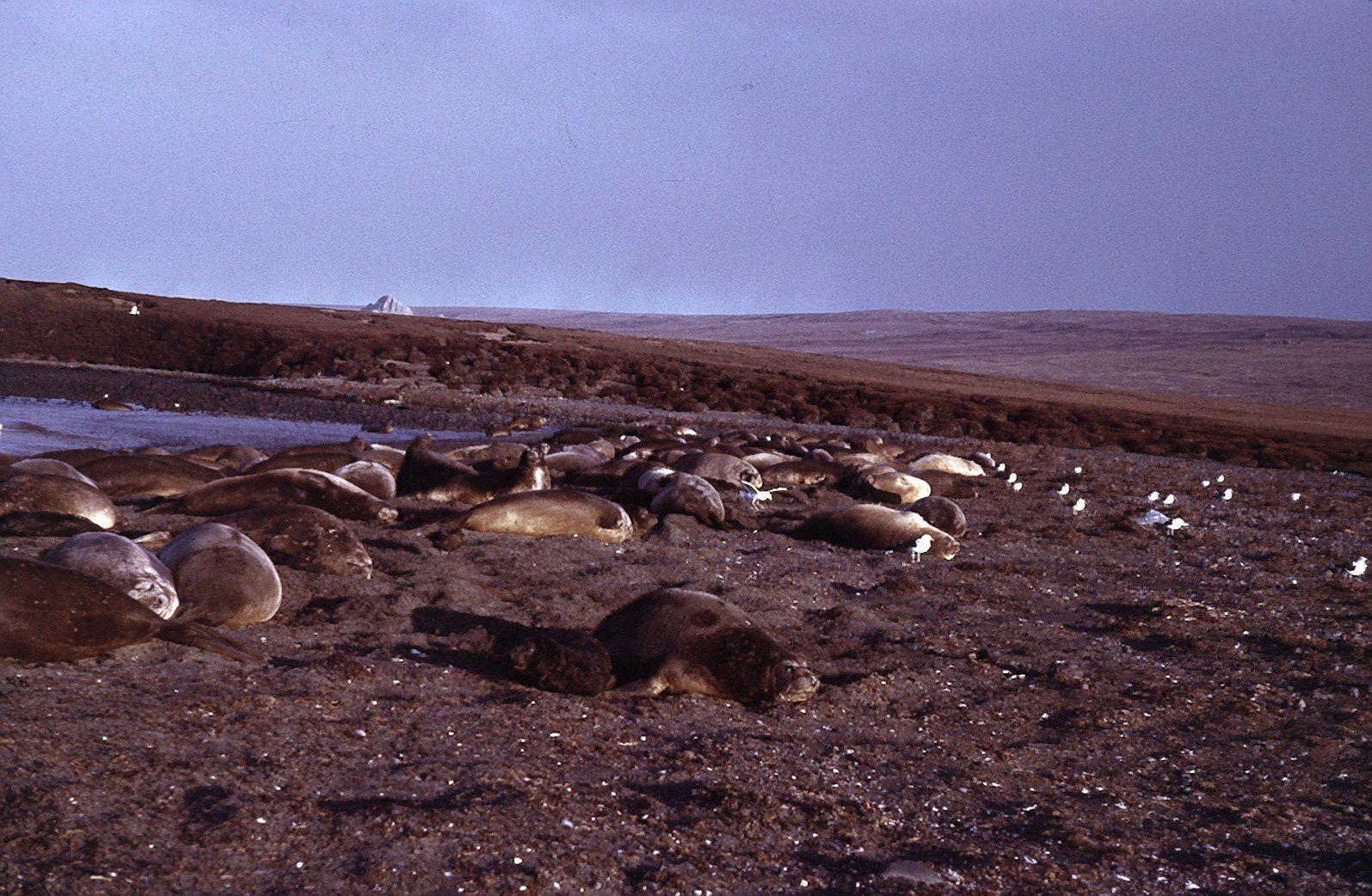 Mue des femelles éléphant de mer