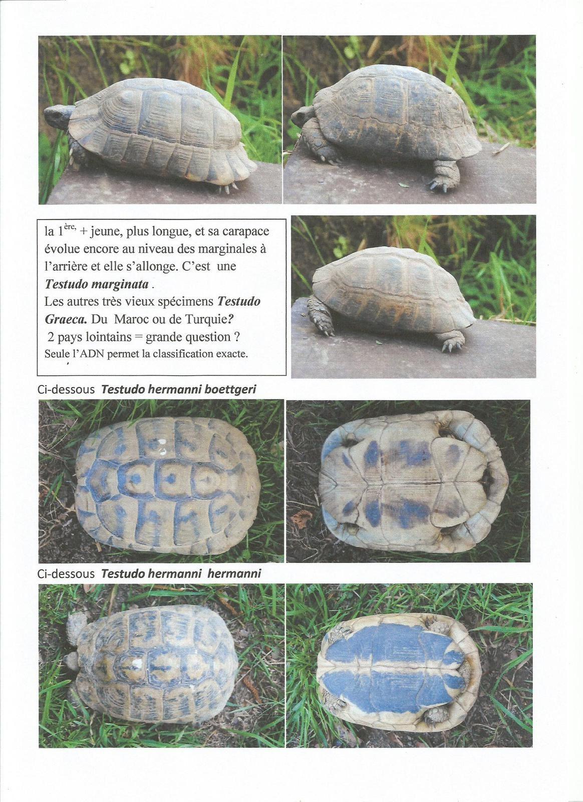 tortue dites Grecques
