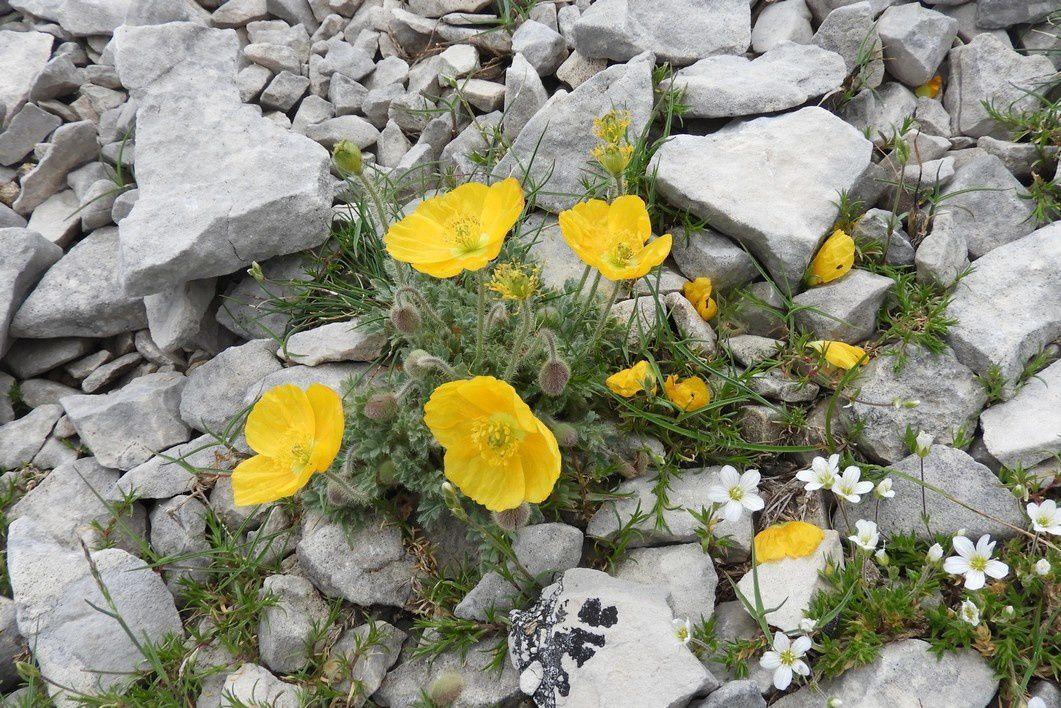 Le Pavot du mont Ventoux adore les pierriers - Papaver alpinum var. aurantiacum