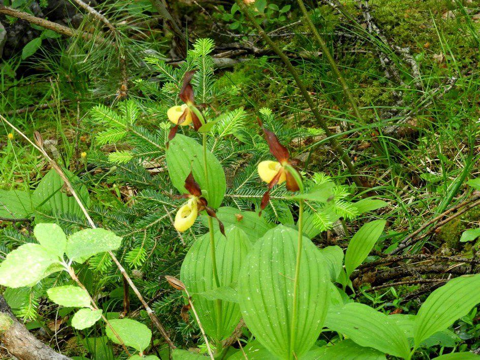 Le Sabot de Vénus est la plus belle orchidée de France (si, si) - Cypripedium calceolus