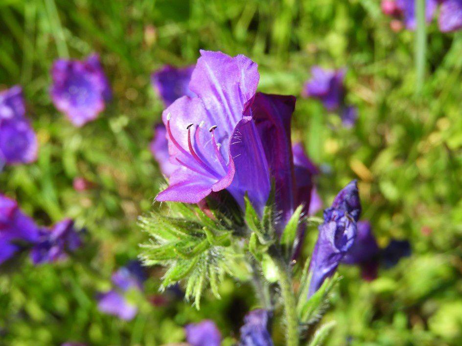 La vipérine faux-plantain peut fleurir durant huit mois - Echium plantagineum