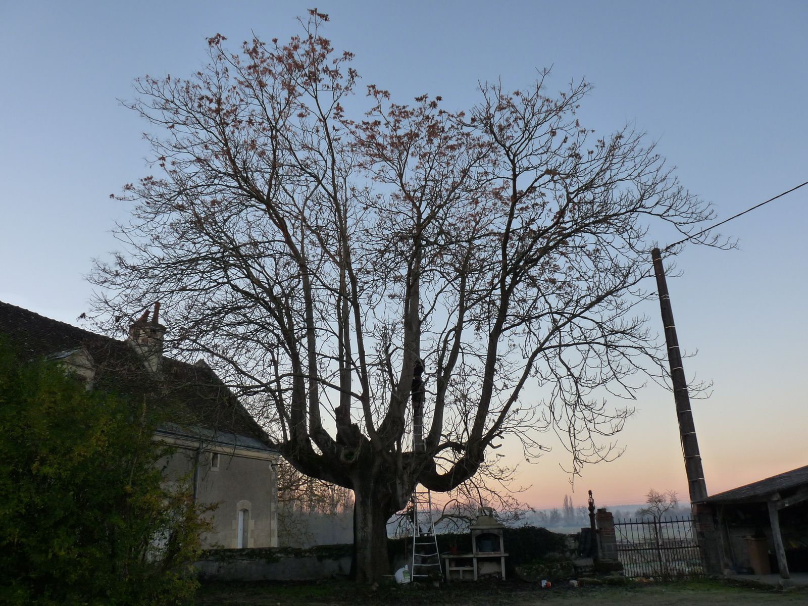 Circonférence:2m90.Gros spécimen .De très grosses cavités avec des risque de ruptures.Taille à reproduire plus régulièrement pour des coupes de diamètre plus petit au dessus de celles faite aujourd'hui.                                                                Ailanthus glandulosa L'Ailante glanduleux, Ailante ou Faux vernis du Japon ou Vernis de Chine (Ailanthus altissima) est une espèce d'arbres à feuilles caduques de la famille des Simaroubaceae. Il est natif à la fois du nord-est et du centre de la Chine et de Taïwan. Il est présent davantage dans la forêt tempérée que dans la forêt subtropicale d'Extrême-Orient. L'arbre pousse vite et est capable d'atteindre des hauteurs de 15 mètres en 25 ans. Cependant, l'espèce a également une durée de vie courte et vit rarement plus de 50 ans (il peut cependant poursuivre son existence bien au-delà grâce à son pouvoir drageonnant particulièrement développé) souce wikipédia