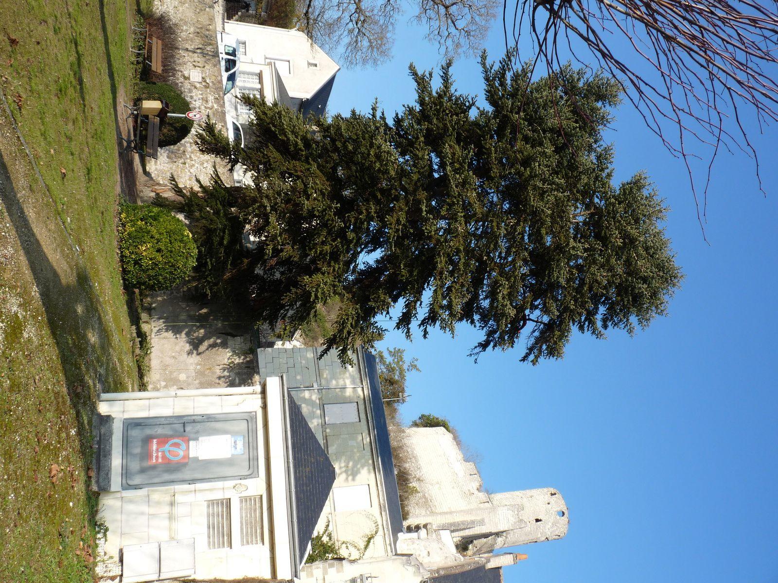 Taille d'allègement du houpier sur Sapin d'Espagne .